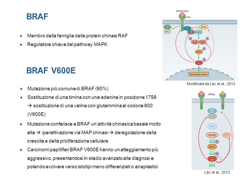 ●Il nostro modello tiroideo mostra resistenza all'inibitore di BRAF V600E legata agli elevati livelli dell'EGFR che svolge un ruolo dominante ●Il trattamento combinato anti-BRAF V600E e anti-EGFR rappresenta un'efficace modalità di trattamento in grado di indurre una inibizione della proliferazione maggiore rispetto al monotrattamento con l'inibitore di BRAF V600E ●Il trattamento sequenziale con l'aggiunta a 48h dell'inibitore di HER2 determina un incremento della risposta rispetto ai trattamenti precedenti, indicando che inizialmente domina il pathway dell'EGFR e l'inibizione successiva di HER2 comporta un sinergismo della risposta