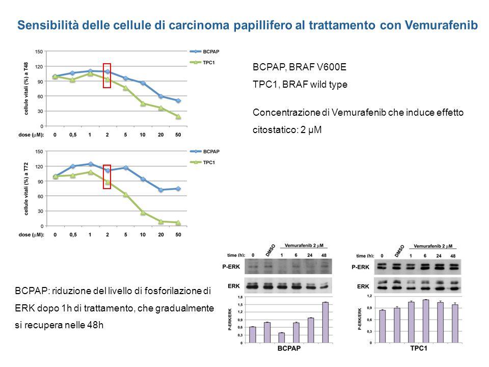 Concentrazione di Vemurafenib che induce effetto citostatico: 2 µM BCPAP: riduzione del livello di fosforilazione di ERK dopo 1h di trattamento, che gradualmente si recupera nelle 48h BCPAP, BRAF V600E TPC1, BRAF wild type