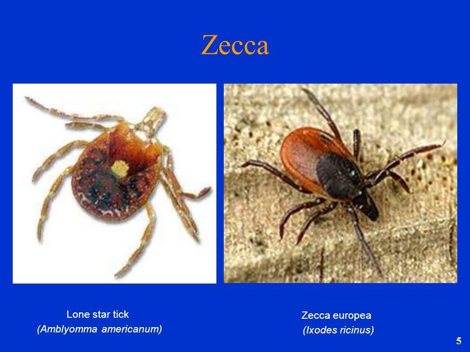 5 Zecca Lone star tick (Amblyomma americanum) Zecca europea (Ixodes ricinus)