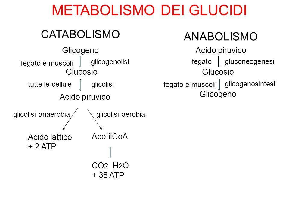 METABOLISMO DEI GLUCIDI CATABOLISMO ANABOLISMO Acido piruvico Glucosio Glicogeno gluconeogenesi glicogenosintesi fegato fegato e muscoli Glicogeno Glu