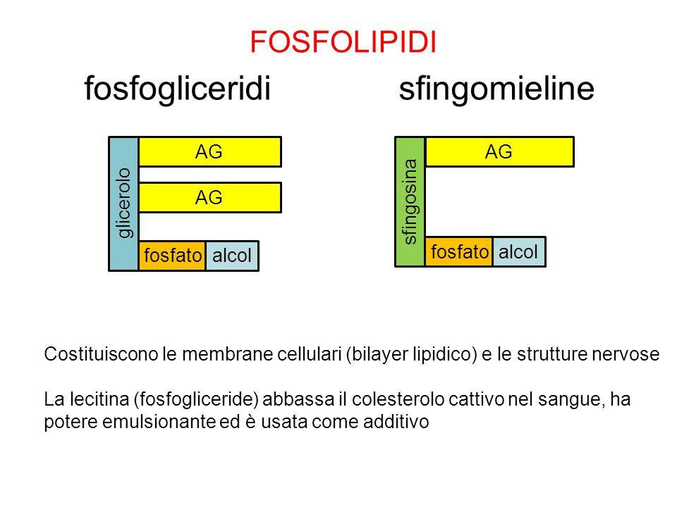 sfingosina FOSFOLIPIDI fosfogliceridisfingomieline Costituiscono le membrane cellulari (bilayer lipidico) e le strutture nervose La lecitina (fosfogli