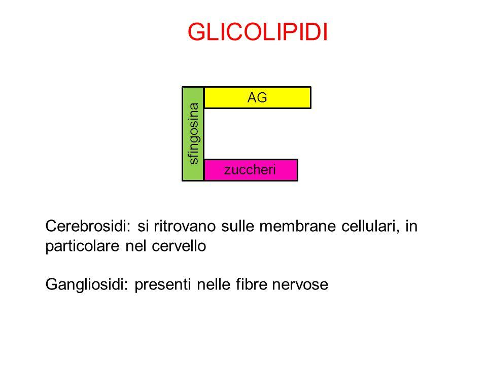 Cerebrosidi: si ritrovano sulle membrane cellulari, in particolare nel cervello Gangliosidi: presenti nelle fibre nervose GLICOLIPIDI sfingosina zucch
