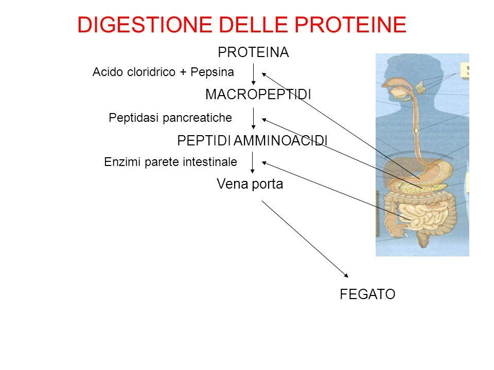 FEGATO DIGESTIONE DELLE PROTEINE PROTEINA MACROPEPTIDI PEPTIDI AMMINOACIDI Vena porta Acido cloridrico + Pepsina Peptidasi pancreatiche Enzimi parete