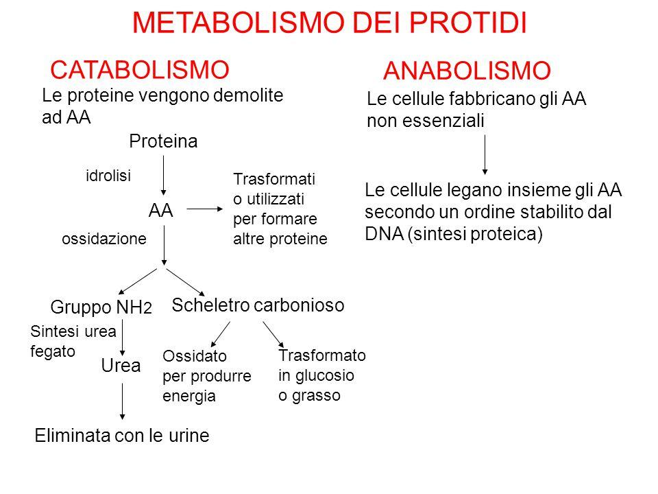 METABOLISMO DEI PROTIDI CATABOLISMO ANABOLISMO Le proteine vengono demolite ad AA Le cellule fabbricano gli AA non essenziali Proteina AA Trasformati