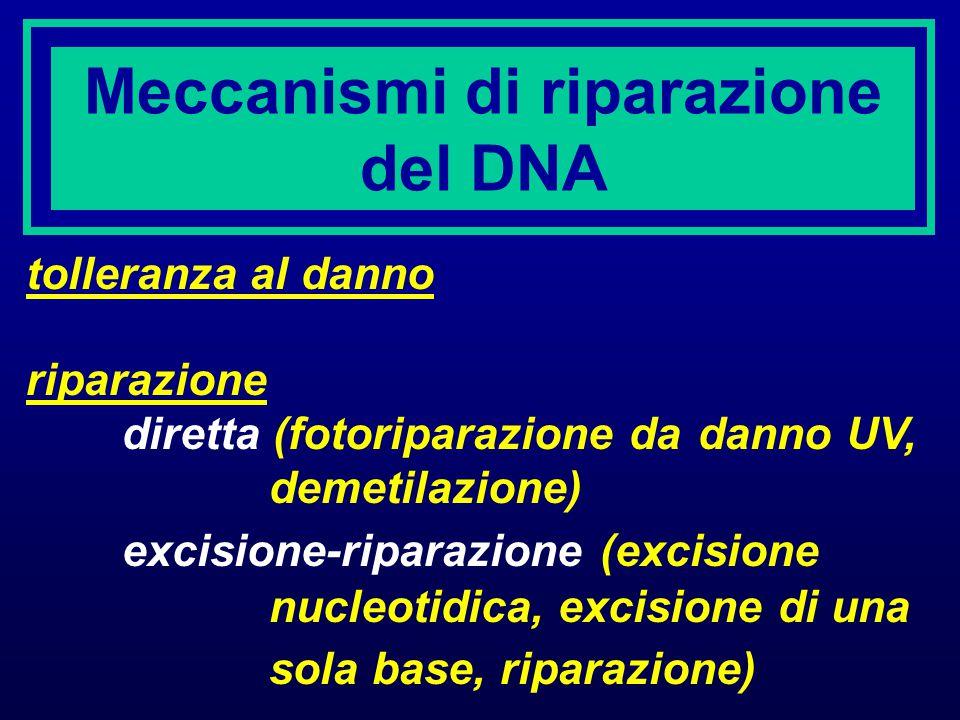 Meccanismi di riparazione del DNA tolleranza al danno riparazione diretta (fotoriparazione da danno UV, demetilazione) excisione-riparazione (excision