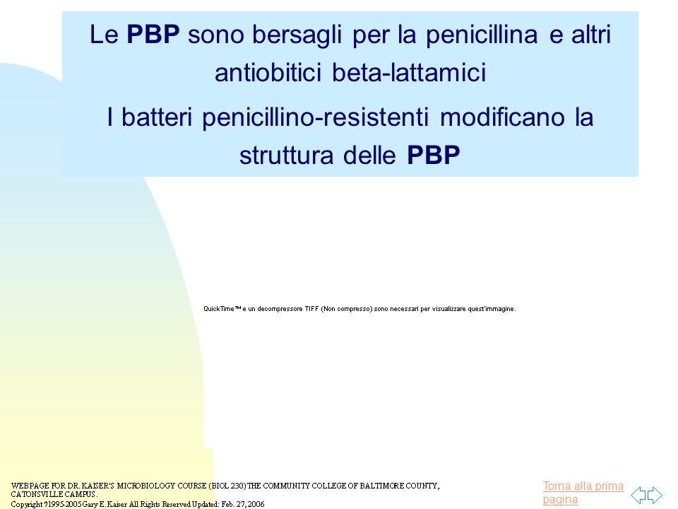 Torna alla prima pagina Le PBP sono bersagli per la penicillina e altri antiobitici beta-lattamici I batteri penicillino-resistenti modificano la struttura delle PBP