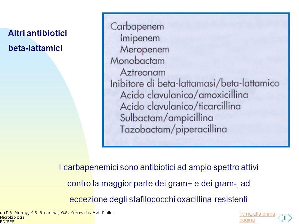 Torna alla prima pagina Altri antibiotici beta-lattamici I carbapenemici sono antibiotici ad ampio spettro attivi contro la maggior parte dei gram+ e dei gram-, ad eccezione degli stafilococchi oxacillina-resistenti
