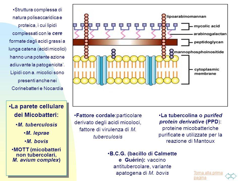 Torna alla prima pagina La parete cellulare dei Micobatteri: M.