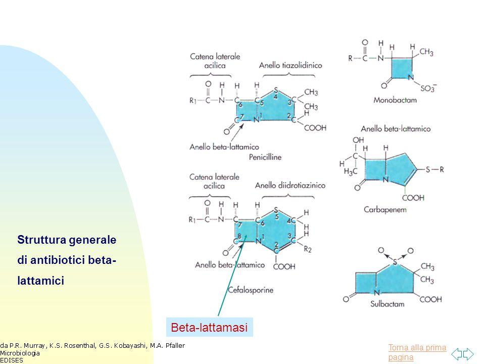 Torna alla prima pagina Vancomicina Interagisce con la D-alanina- D-alanina terminale delle catene laterali penta- peptidiche interferendo con la formazione dei ponti Attiva contro stafilococchi oxacillina-resistenti e altri gram+ resistenti ai beta lattamici.