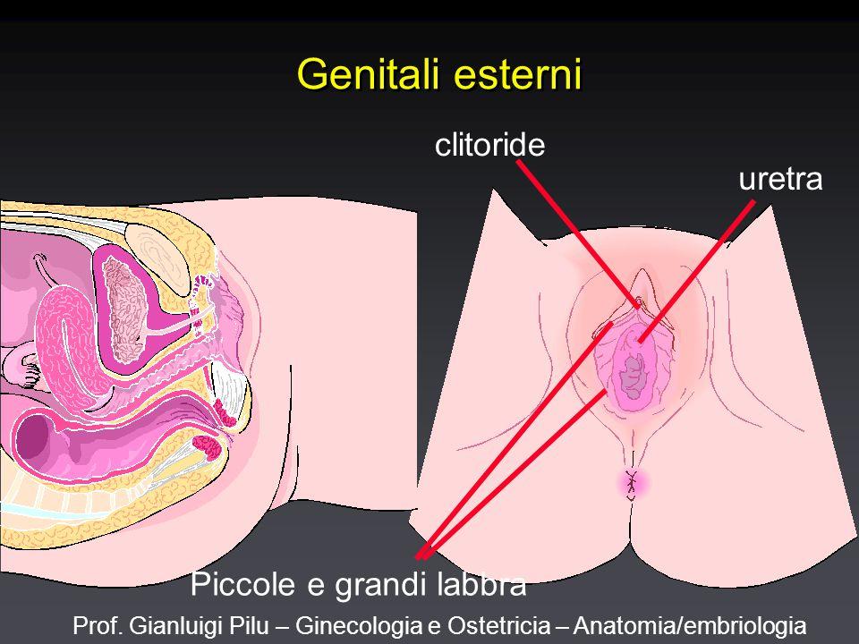 Prof. Gianluigi Pilu – Ginecologia e Ostetricia – Anatomia/embriologia Genitali esterni clitoride uretra Piccole e grandi labbra
