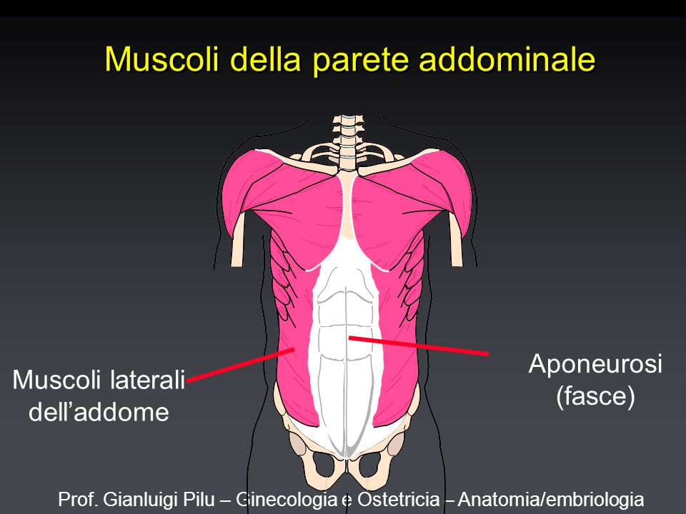 Prof. Gianluigi Pilu – Ginecologia e Ostetricia – Anatomia/embriologia Muscoli della parete addominale Muscoli laterali dell'addome Aponeurosi (fasce)