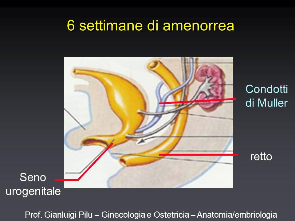 Prof. Gianluigi Pilu – Ginecologia e Ostetricia – Anatomia/embriologia 6 settimane di amenorrea Condotti di Muller retto Seno urogenitale