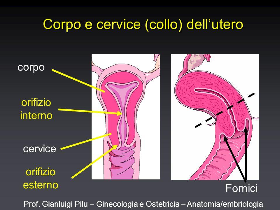 Prof. Gianluigi Pilu – Ginecologia e Ostetricia – Anatomia/embriologia Corpo e cervice (collo) dell'utero corpo cervice orifizio interno orifizio este