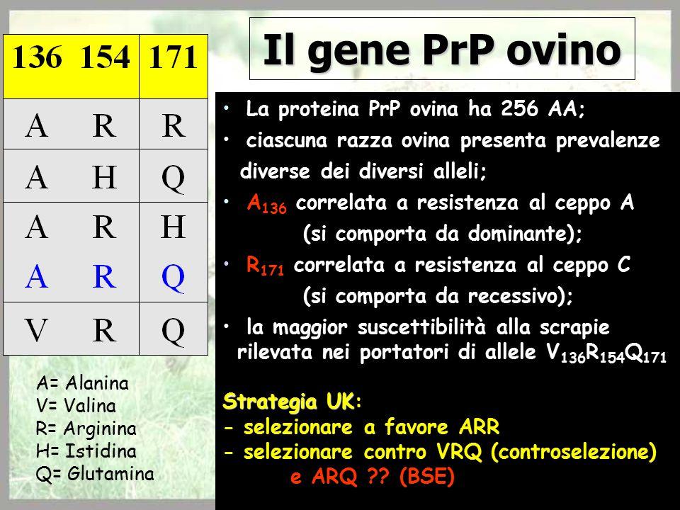 Il gene PrP ovino La proteina PrP ovina ha 256 AA; ciascuna razza ovina presenta prevalenze diverse dei diversi alleli; A 136 correlata a resistenza al ceppo A (si comporta da dominante); R 171 correlata a resistenza al ceppo C (si comporta da recessivo); la maggior suscettibilità alla scrapie rilevata nei portatori di allele V 136 R 154 Q 171 Strategia UK Strategia UK: - selezionare a favore ARR - selezionare contro VRQ (controselezione) e ARQ .