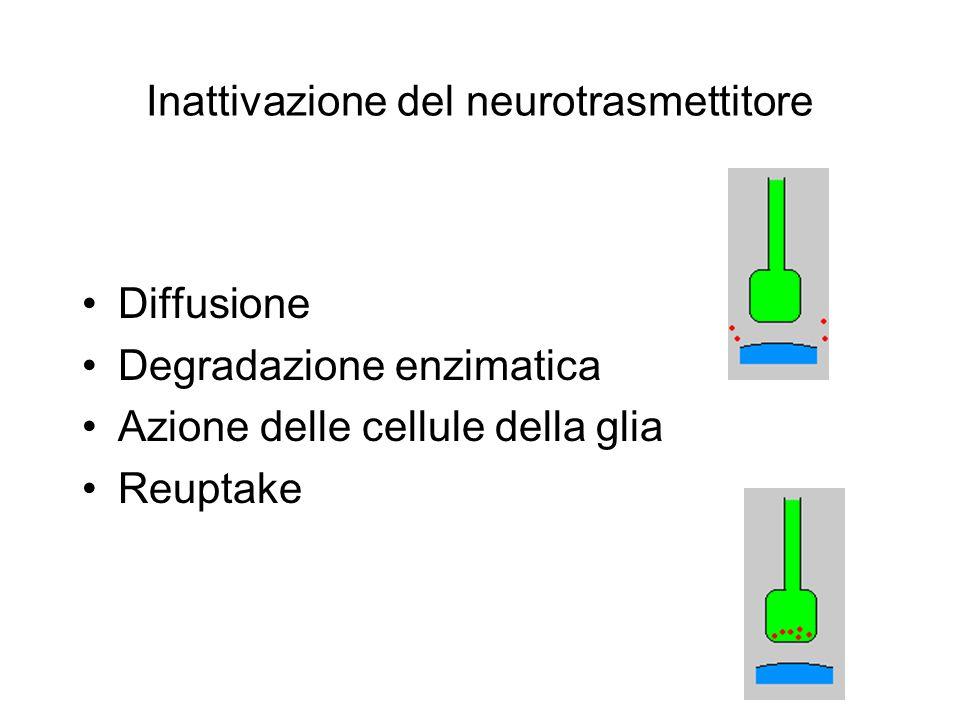 Inattivazione del neurotrasmettitore Diffusione Degradazione enzimatica Azione delle cellule della glia Reuptake
