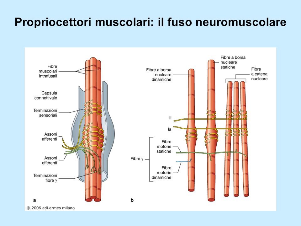 Propriocettori muscolari: il fuso neuromuscolare