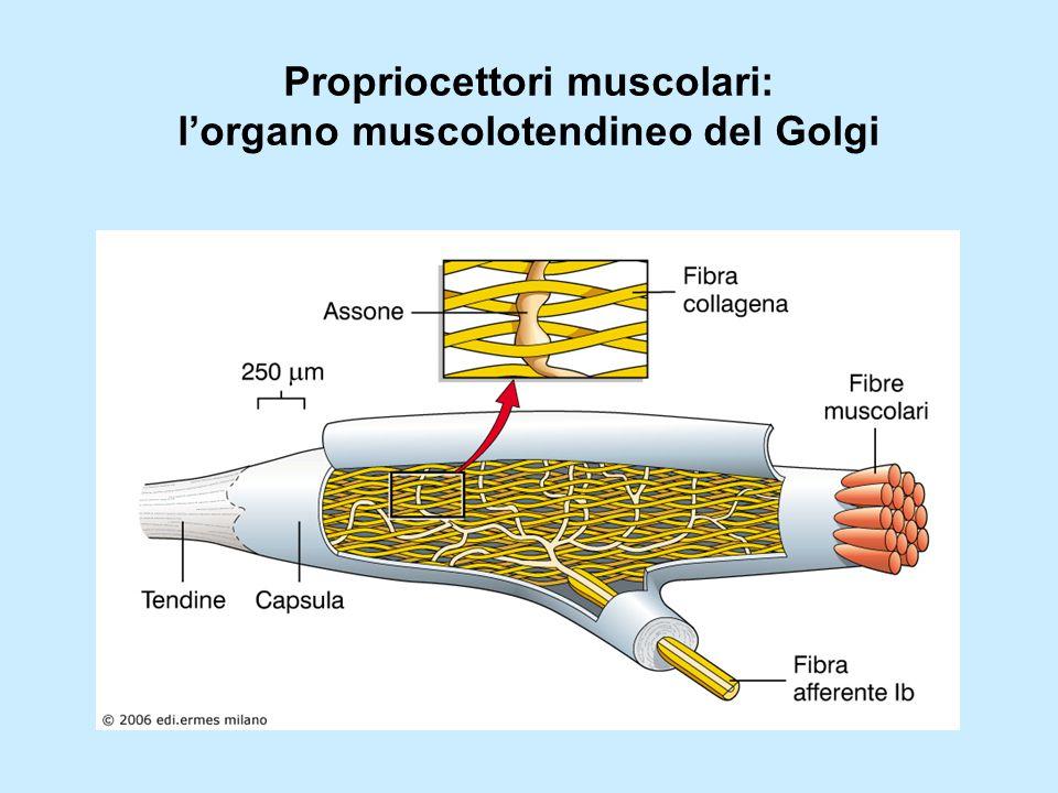 Propriocettori muscolari: l'organo muscolotendineo del Golgi