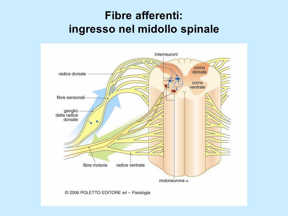 Fibre afferenti: ingresso nel midollo spinale