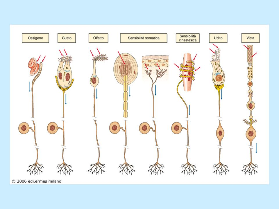 Classi di fibre del nervo periferico (Erlanger & Gasser) GruppoDiametro Velocità Funzione (μm) (m/s) A  12-2070-100Motoria; sensoriale  5-1230-70Sensoriale  3-515-30Motoria; sensoriale  2-35-15Sensoriale B1-22-5SNA C0.2-10.5-2Sensoriale; SNA