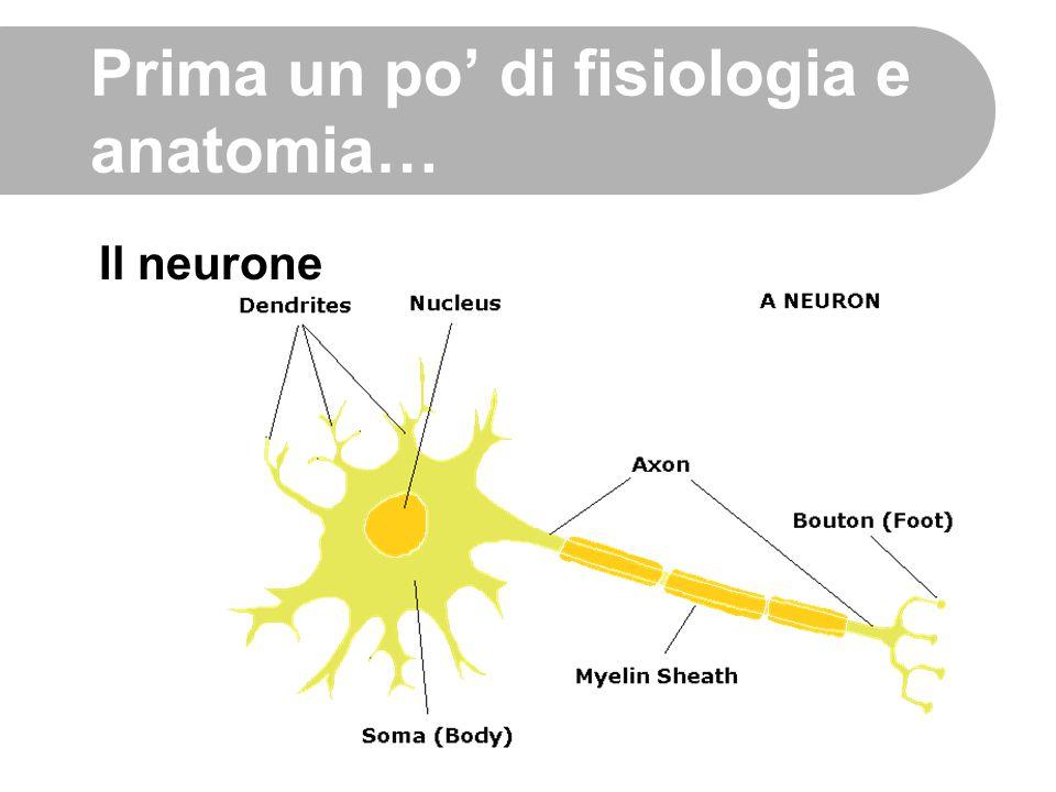 Prima un po' di fisiologia e anatomia… Il neurone