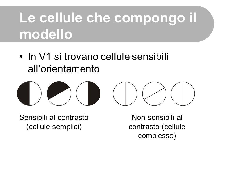 In V1 si trovano cellule sensibili all'orientamento Sensibili al contrasto (cellule semplici) Non sensibili al contrasto (cellule complesse) Le cellul