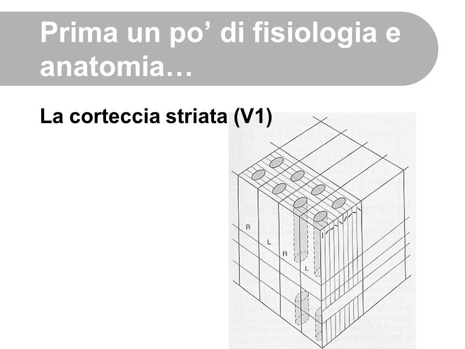 Prima un po' di fisiologia e anatomia… La corteccia striata (V1)