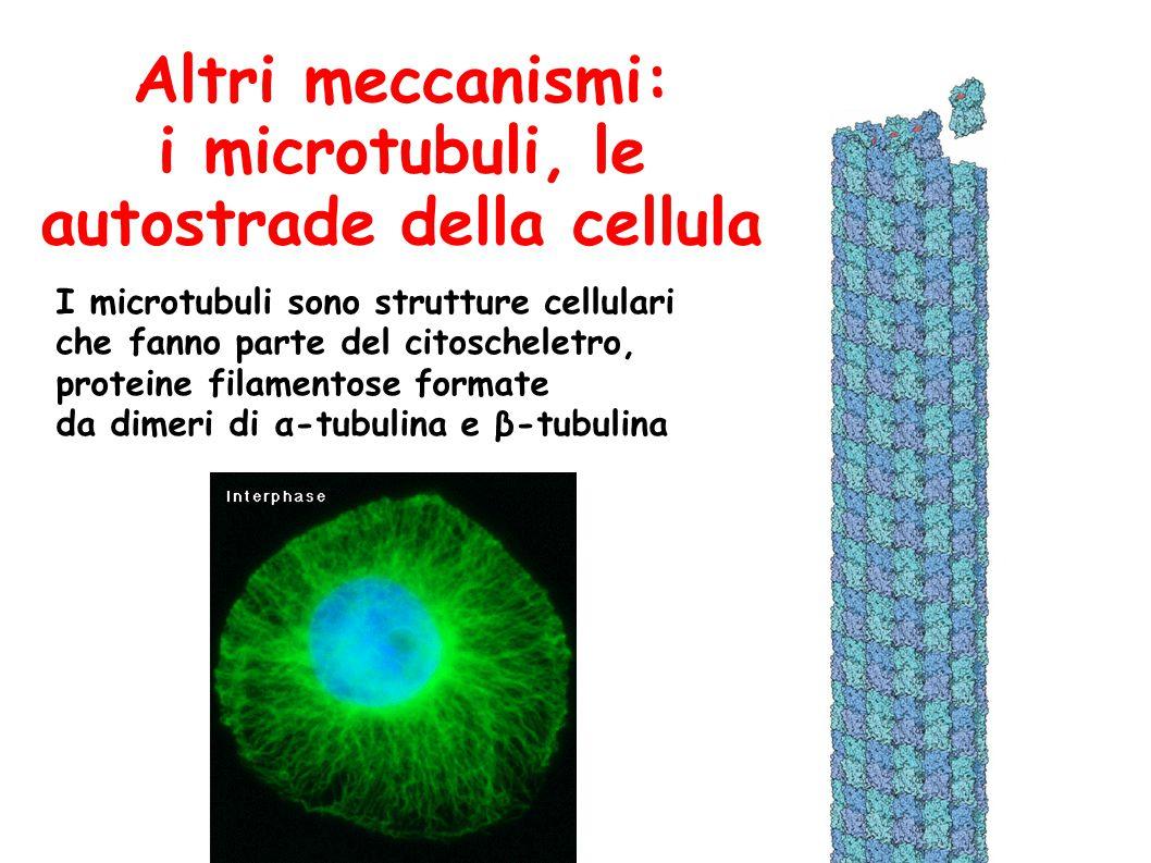 Altri meccanismi: i microtubuli, le autostrade della cellula I microtubuli sono strutture cellulari che fanno parte del citoscheletro, proteine filamentose formate da dimeri di α-tubulina e β-tubulina