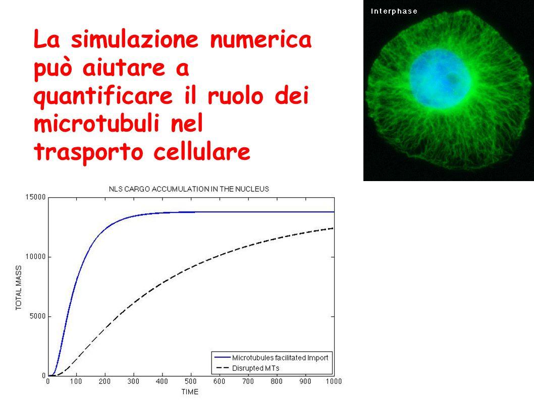 La simulazione numerica può aiutare a quantificare il ruolo dei microtubuli nel trasporto cellulare
