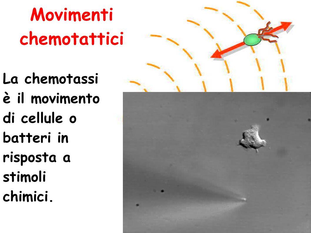 Movimenti chemotattici La chemotassi è il movimento di cellule o batteri in risposta a stimoli chimici.