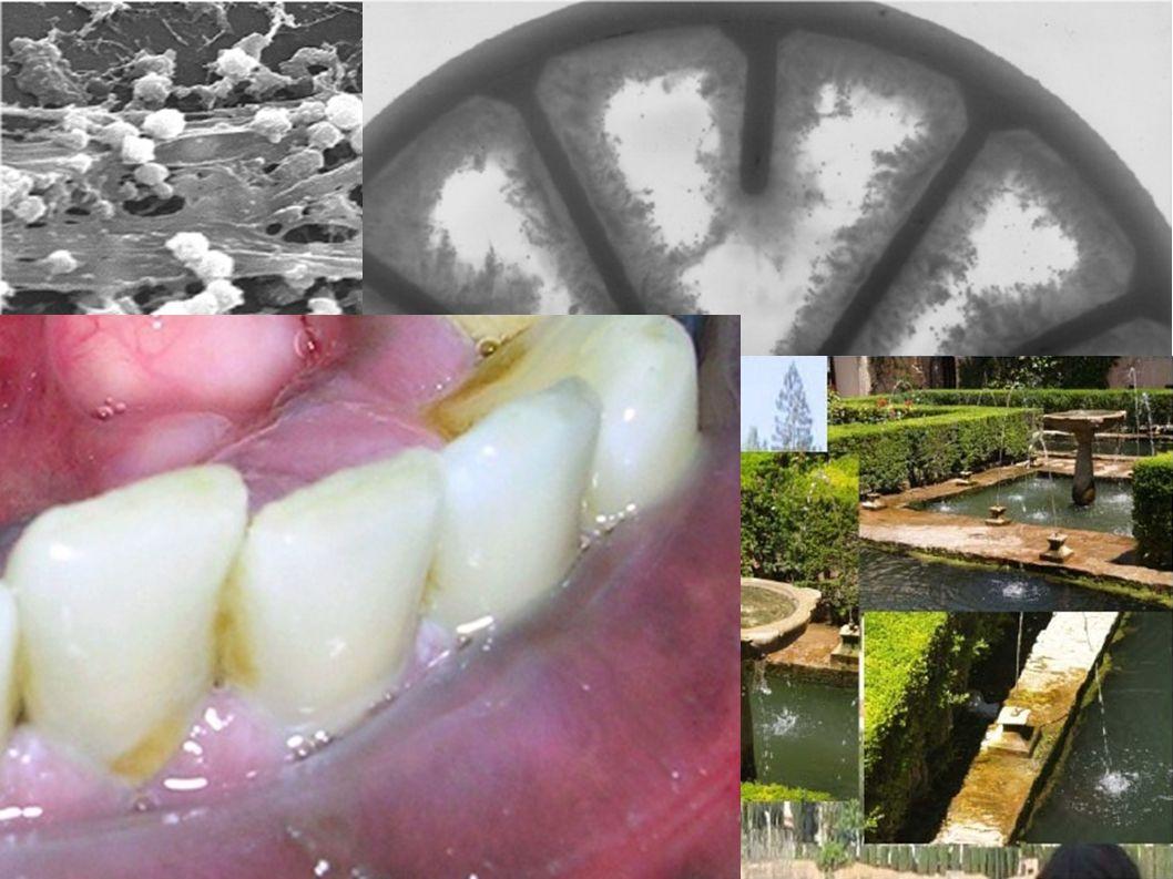 I biofilms sono ovunque: il 95% dei batteri sono organizzati in biofilms