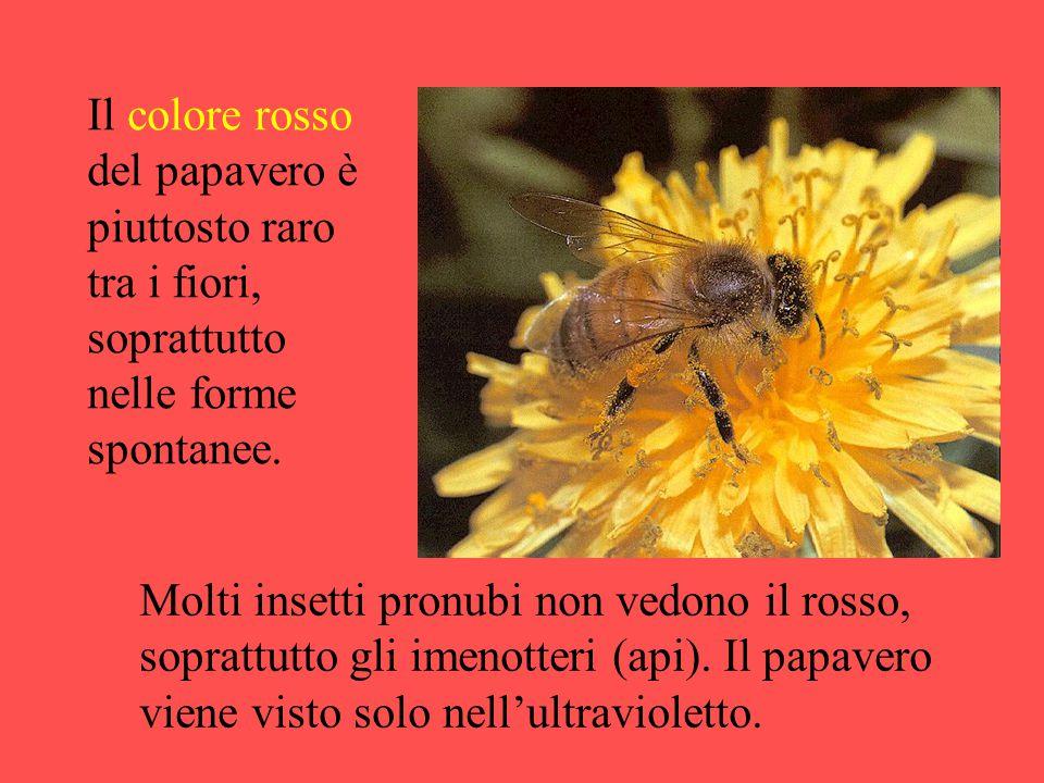 Il colore rosso del papavero è piuttosto raro tra i fiori, soprattutto nelle forme spontanee. Molti insetti pronubi non vedono il rosso, soprattutto g