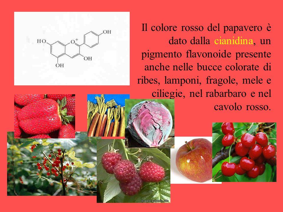 Il colore rosso del papavero è dato dalla cianidina, un pigmento flavonoide presente anche nelle bucce colorate di ribes, lamponi, fragole, mele e cil