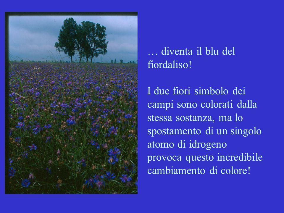 … diventa il blu del fiordaliso! I due fiori simbolo dei campi sono colorati dalla stessa sostanza, ma lo spostamento di un singolo atomo di idrogeno