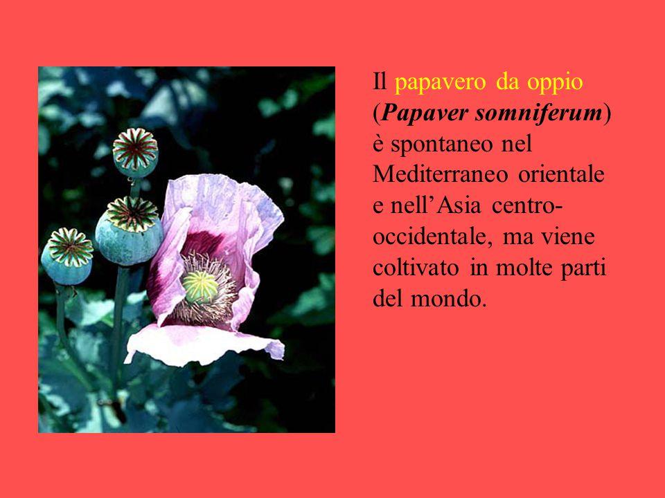 Il papavero da oppio (Papaver somniferum) è spontaneo nel Mediterraneo orientale e nell'Asia centro- occidentale, ma viene coltivato in molte parti de