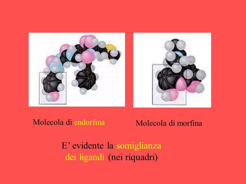 Molecola di endorfina Molecola di morfina E' evidente la somiglianza dei ligandi (nei riquadri)