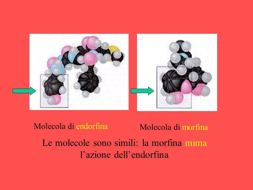 Molecola di endorfina Molecola di morfina Le molecole sono simili: la morfina mima l'azione dell'endorfina