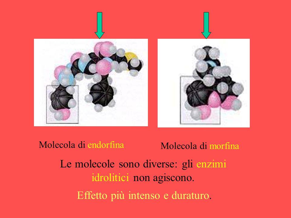 Molecola di endorfina Molecola di morfina Le molecole sono diverse: gli enzimi idrolitici non agiscono. Effetto più intenso e duraturo.