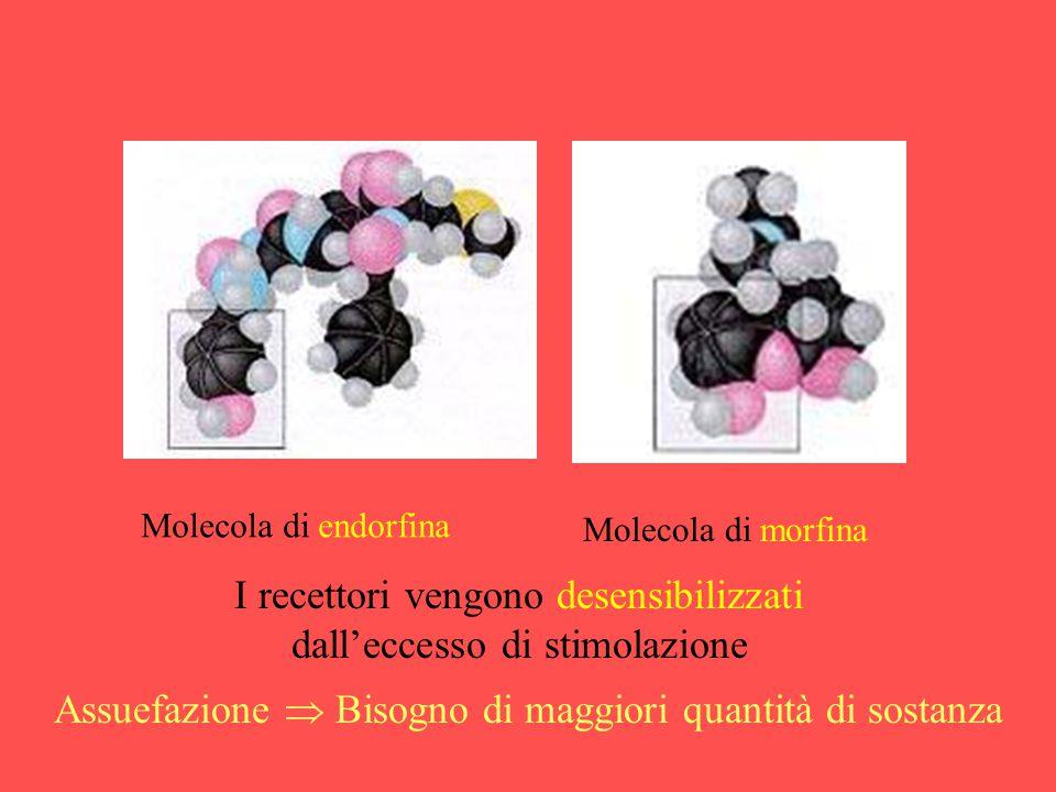 Molecola di endorfina Molecola di morfina I recettori vengono desensibilizzati dall'eccesso di stimolazione Assuefazione  Bisogno di maggiori quantit