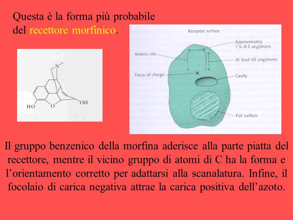 Questa è la forma più probabile del recettore morfinico. Il gruppo benzenico della morfina aderisce alla parte piatta del recettore, mentre il vicino