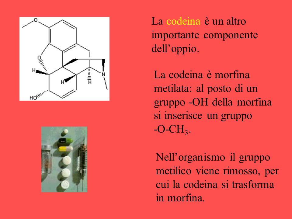 La codeina è un altro importante componente dell'oppio. La codeina è morfina metilata: al posto di un gruppo -OH della morfina si inserisce un gruppo