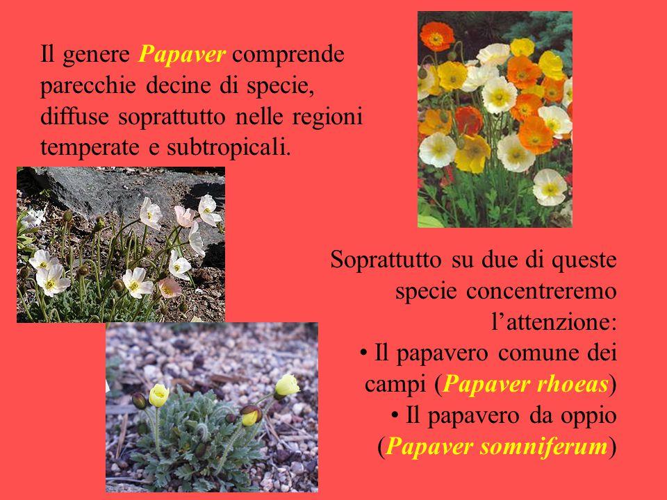 Il genere Papaver comprende parecchie decine di specie, diffuse soprattutto nelle regioni temperate e subtropicali. Soprattutto su due di queste speci