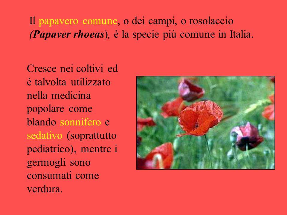Il papavero comune, o dei campi, o rosolaccio (Papaver rhoeas), è la specie più comune in Italia. Cresce nei coltivi ed è talvolta utilizzato nella me