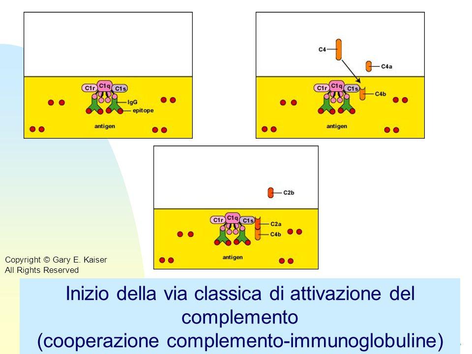 Torna alla prima pagina Inizio della via classica di attivazione del complemento (cooperazione complemento-immunoglobuline) Copyright © Gary E. Kaiser
