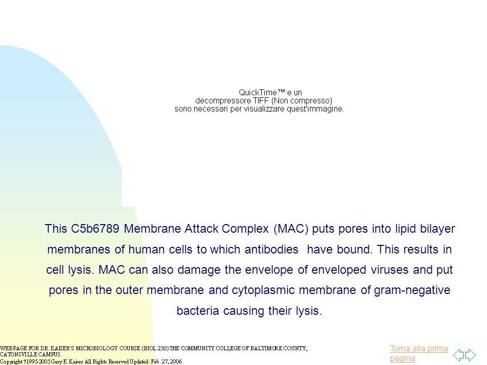 Torna alla prima pagina This C5b6789 Membrane Attack Complex (MAC) puts pores into lipid bilayer membranes of human cells to which antibodies have bou