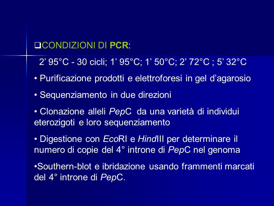  CONDIZIONI DI PCR: 2' 95°C - 30 cicli; 1' 95°C; 1' 50°C; 2' 72°C ; 5' 32°C Purificazione prodotti e elettroforesi in gel d'agarosio Sequenziamento i
