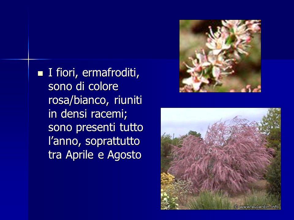 I fiori, ermafroditi, sono di colore rosa/bianco, riuniti in densi racemi; sono presenti tutto l'anno, soprattutto tra Aprile e Agosto I fiori, ermafr