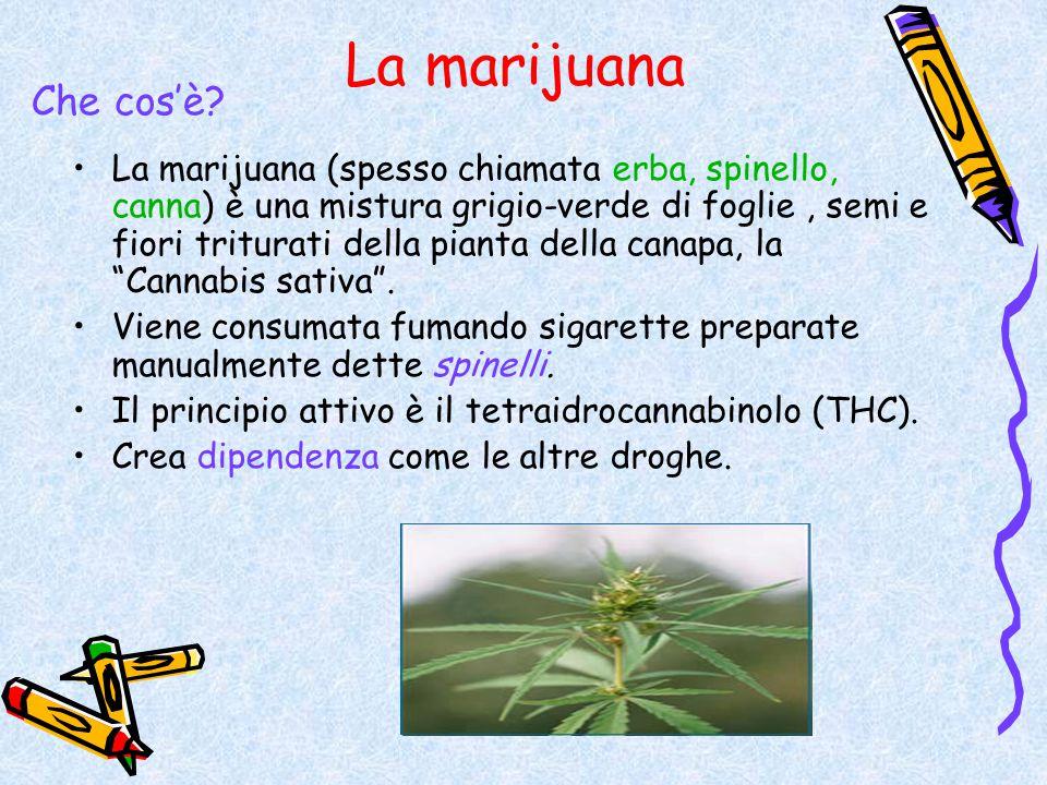 La marijuana La marijuana (spesso chiamata erba, spinello, canna) è una mistura grigio-verde di foglie, semi e fiori triturati della pianta della cana