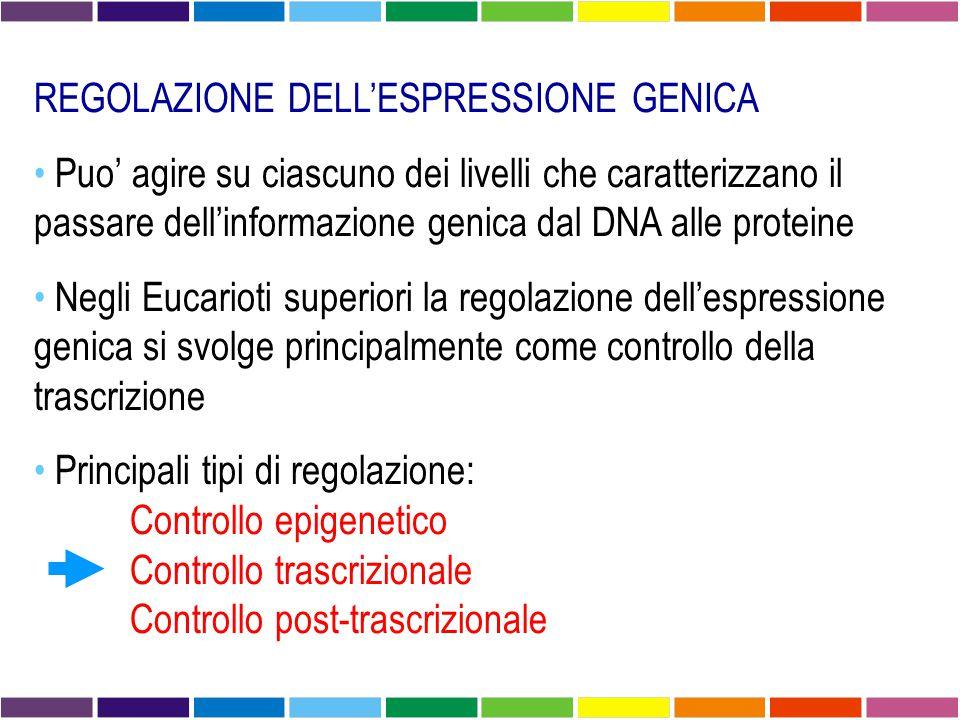REGOLAZIONE DELL'ESPRESSIONE GENICA Puo' agire su ciascuno dei livelli che caratterizzano il passare dell'informazione genica dal DNA alle proteine Negli Eucarioti superiori la regolazione dell'espressione genica si svolge principalmente come controllo della trascrizione Principali tipi di regolazione: Controllo epigenetico Controllo trascrizionale Controllo post-trascrizionale