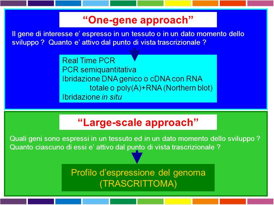 """""""One-gene approach"""" Il gene di interesse e' espresso in un tessuto o in un dato momento dello sviluppo ? Quanto e' attivo dal punto di vista trascrizi"""