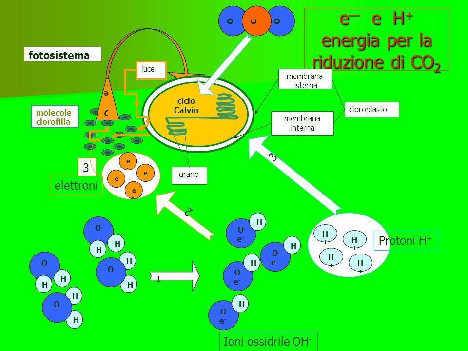 """riassunto fase luminosa L'energia luminosa viene trasformata prima in energia """"elettrica"""" -spostamento di particelle cariche, elettroni e H + ricavati"""